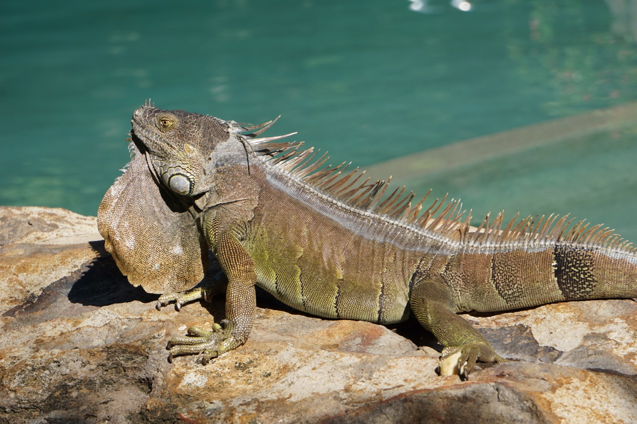large iguana in tamarindo